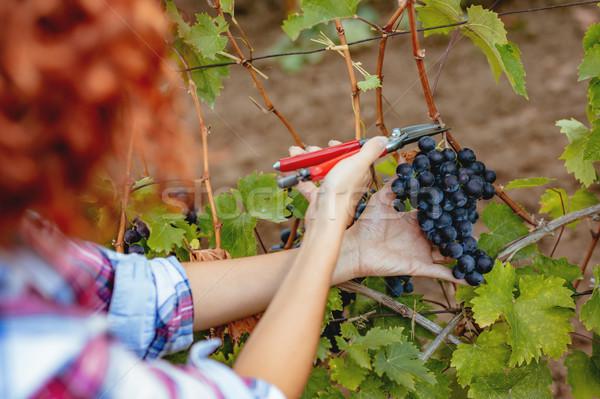 Winnicy zbiorów widok z tyłu kobieta cięcie winogron Zdjęcia stock © MilanMarkovic78