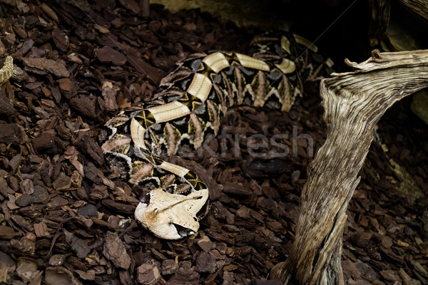 Gaboon Viper Stock photo © MilanMarkovic78