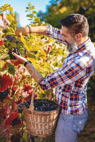 Trauben Ernte gut aussehend lächelnd bärtigen Schneiden Stock foto © MilanMarkovic78