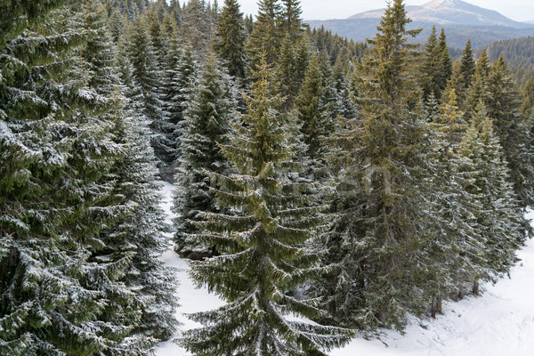 зима идиллия Панорама мнение соснового лес Сток-фото © MilanMarkovic78