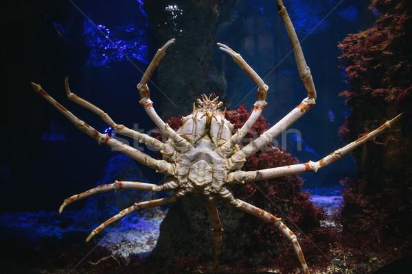 Géant japonais araignée crabe mer aquarium Photo stock © MilanMarkovic78