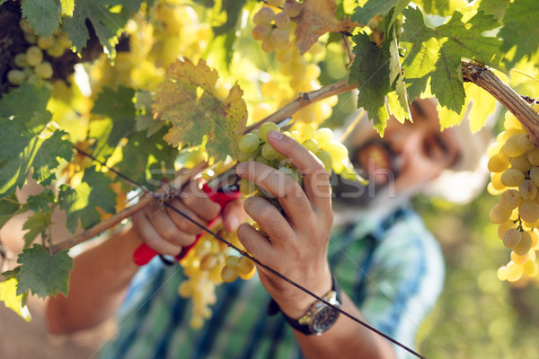 Vinha colheita bonito sorridente uvas Foto stock © MilanMarkovic78