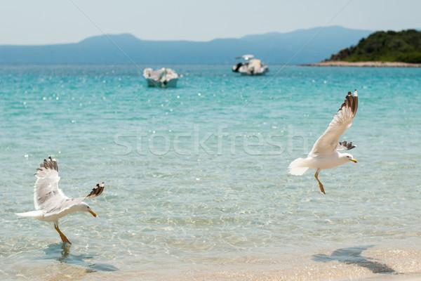 Gulls Stock photo © MilanMarkovic78