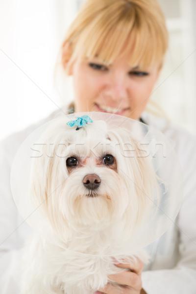 Maltese dog Stock photo © MilanMarkovic78