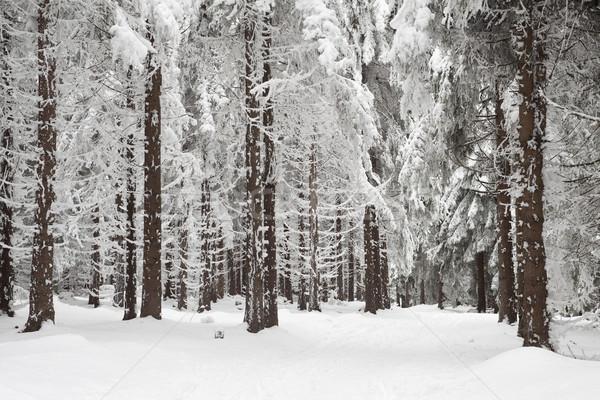 Tél erdő fák fedett hó tájkép Stock fotó © MiroNovak