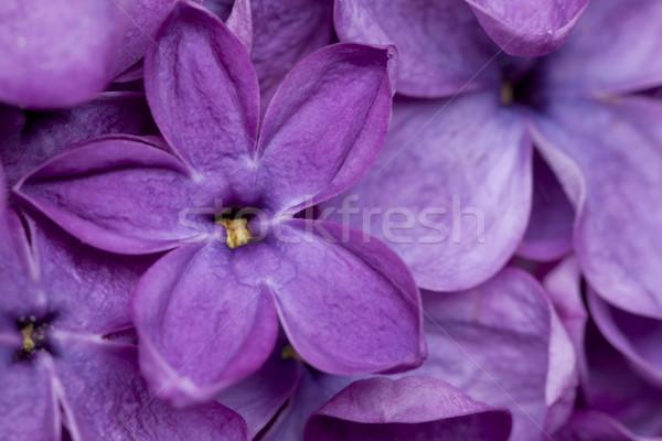 сирень цветок фиолетовый органический природного текстуры Сток-фото © MiroNovak