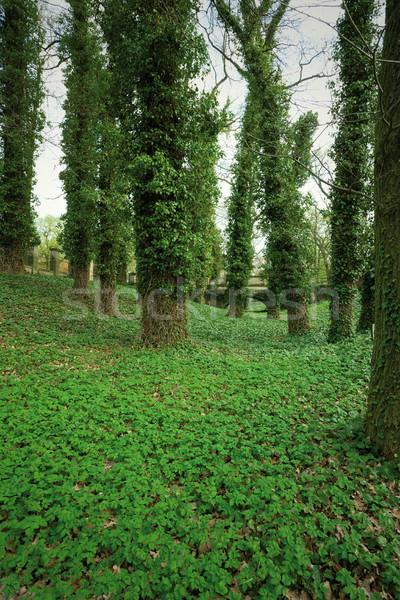 Nagy fák park fedett borostyán zöld Stock fotó © MiroNovak
