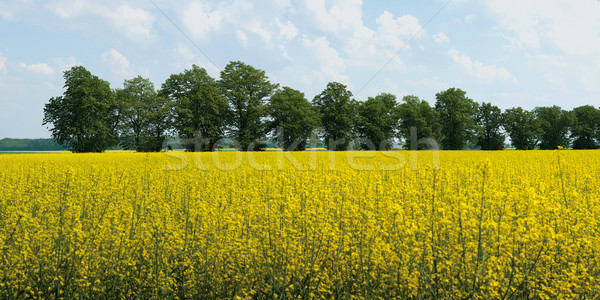 panorama of blooming rape field Stock photo © MiroNovak