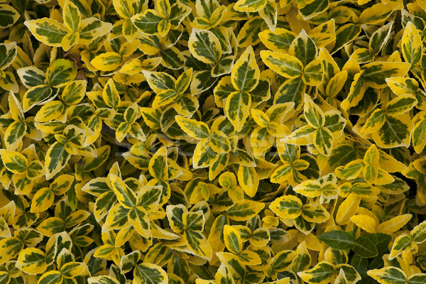 green yellow leafy background Stock photo © MiroNovak