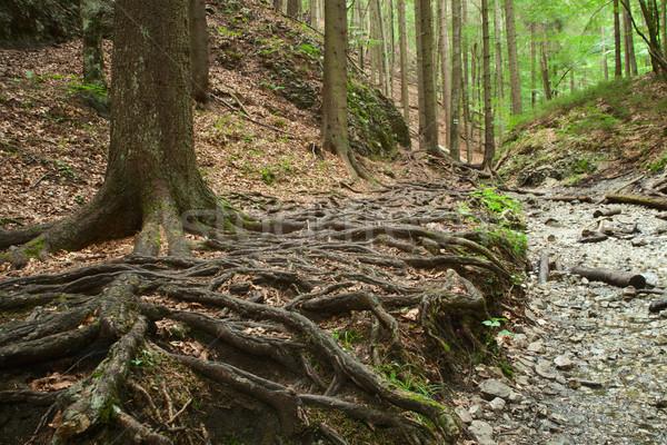 roots of big trees Stock photo © MiroNovak