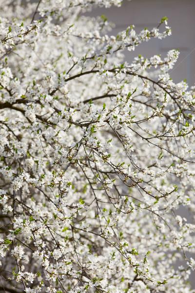 árvore frutífera novo folhas verdes primavera Foto stock © MiroNovak