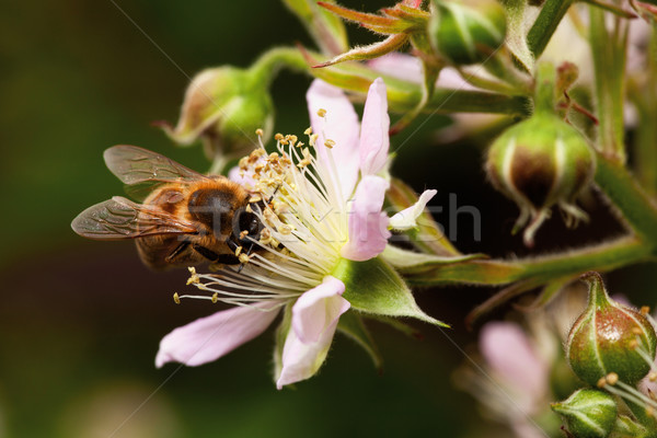 Abeille fleur nectar BlackBerry travaux Photo stock © MiroNovak