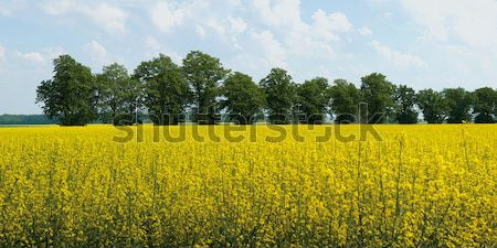 rape flower at field Stock photo © MiroNovak