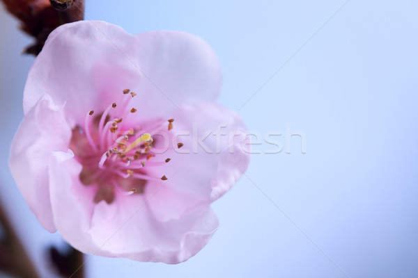Gyümölcsfa virág barack fa rózsaszín virág kék ég Stock fotó © MiroNovak