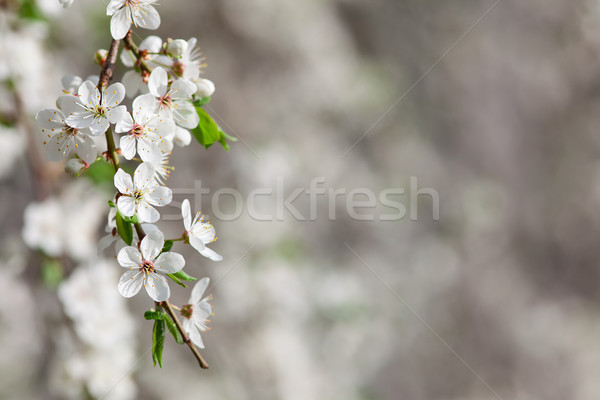 Ramo árvore frutífera novo folhas verdes Foto stock © MiroNovak