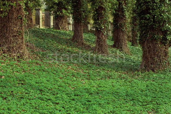 big trees in park covered in ivy Stock photo © MiroNovak