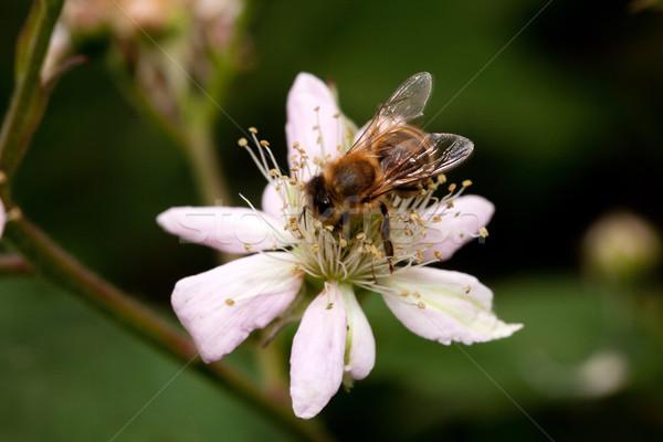 Mel de abelha flor néctar amora preta natureza Foto stock © MiroNovak