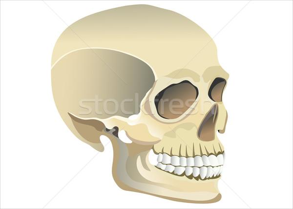 人間 頭蓋骨 モデル 顔 目 ボディ ストックフォト © mitay20