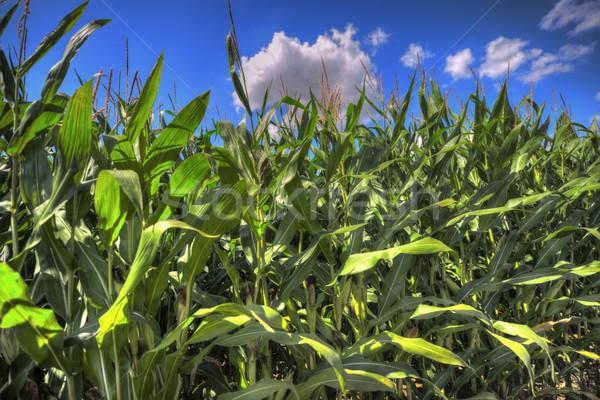 Maíz campo cielo azul verano verde Foto stock © mobi68