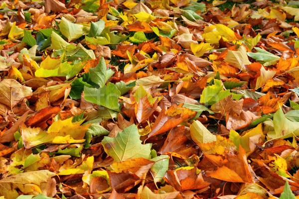 Hojas de otoño naturaleza hoja árboles avión hojas Foto stock © mobi68