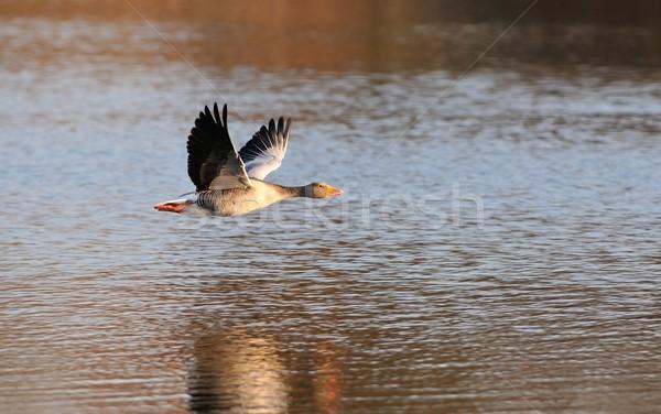 гусь полет птица синий животного крыло Сток-фото © mobi68