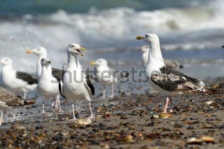 Black-backed gulls on the beach Stock photo © mobi68