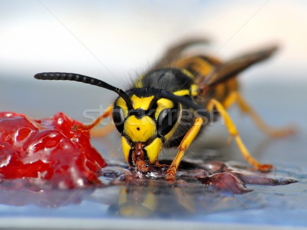 Wasp eating jelly Stock photo © mobi68