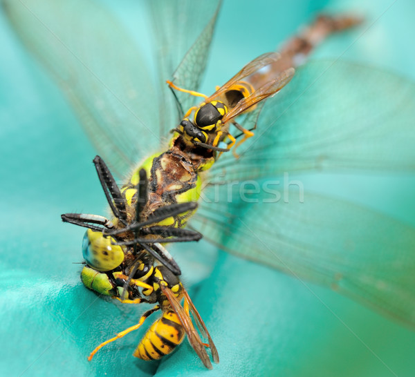 Wasps eating a dragonfly II Stock photo © mobi68
