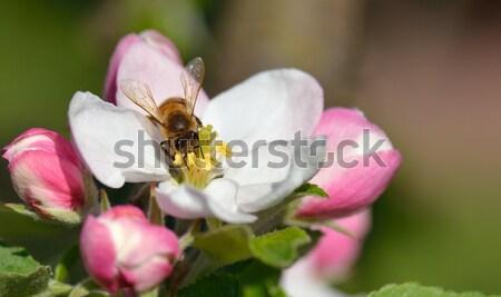 Bee полет занят яблоко Blossom весны Сток-фото © mobi68