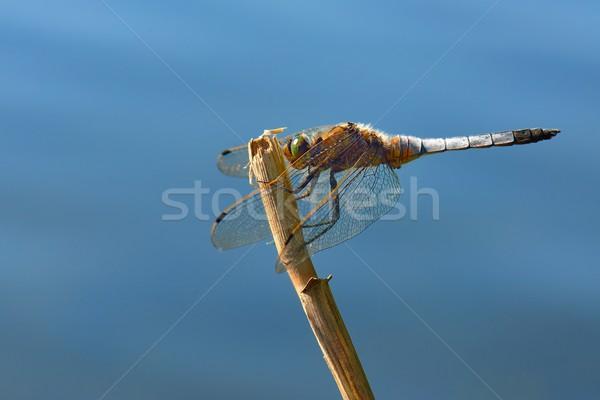トンボ 緑 湖 赤 動物 翼 ストックフォト © mobi68