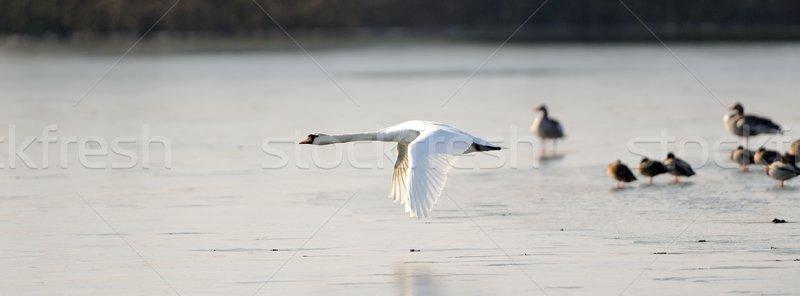ミュート 白鳥 飛行 凍結 湖 水 ストックフォト © mobi68