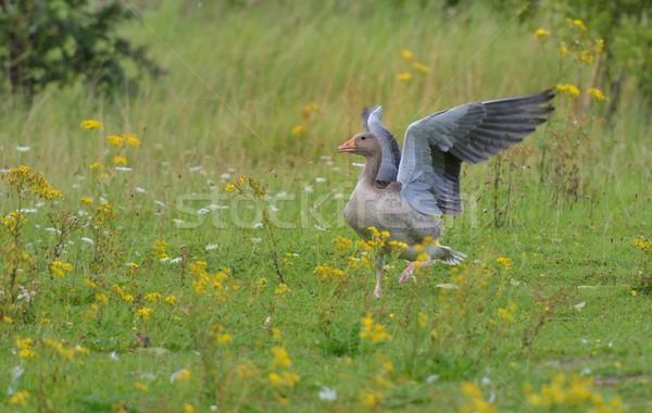 Graylag goose Pegasus Stock photo © mobi68