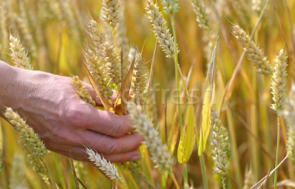 Trigo mano orejas mujer naturaleza plantas Foto stock © mobi68