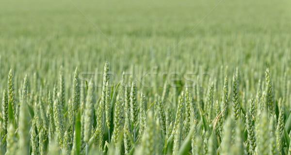 Grano campo de trigo trigo plantas agricultura crecimiento Foto stock © mobi68