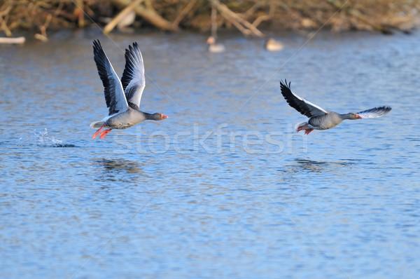 Kaz uçuş kuş mavi hayvan kanat Stok fotoğraf © mobi68
