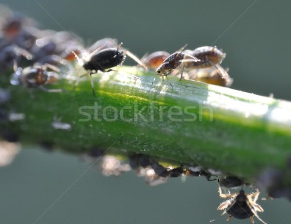 aphids Stock photo © mobi68