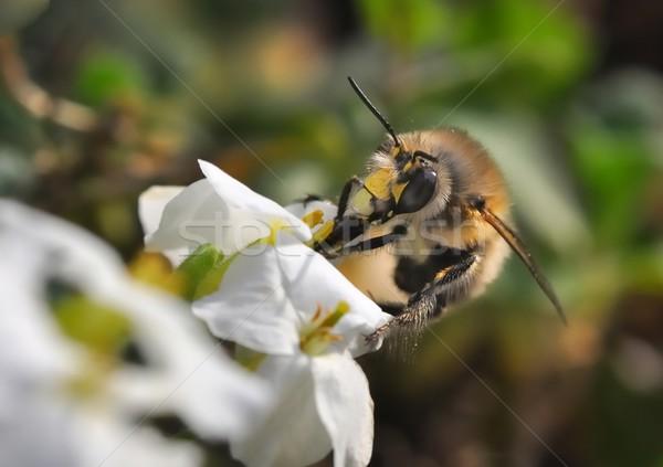 マルハナバチ 作業 花 自然 髪 脚 ストックフォト © mobi68