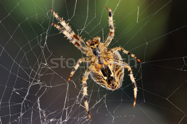 Garden spider repairs its web Stock photo © mobi68