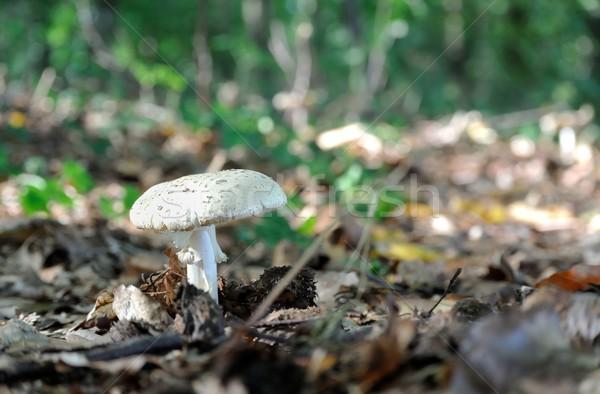 гриб лес полу Сток-фото © mobi68