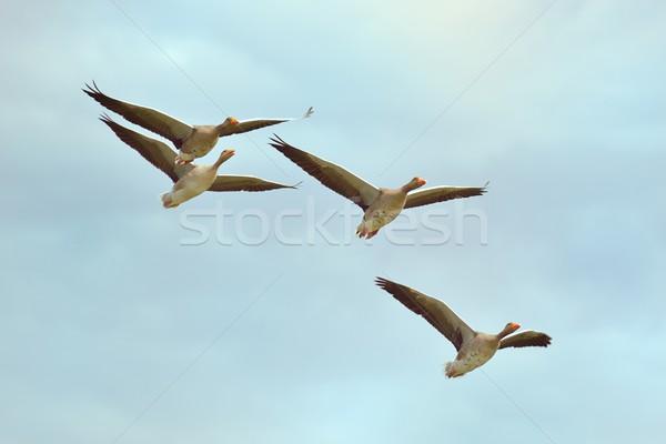Gansos vuelo cuatro gris azul aves Foto stock © mobi68