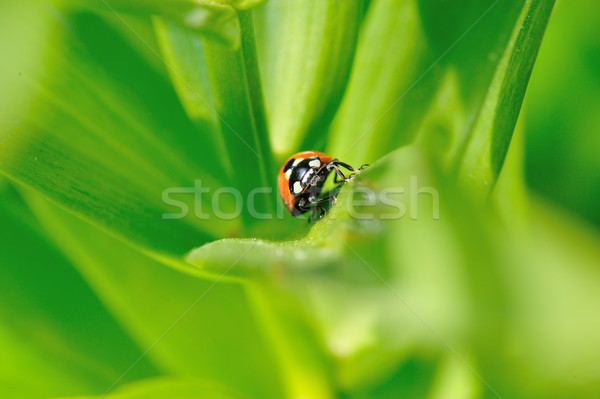 Foto stock: Mariquita · brillante · hojas · verdes · naturaleza · hoja · rojo