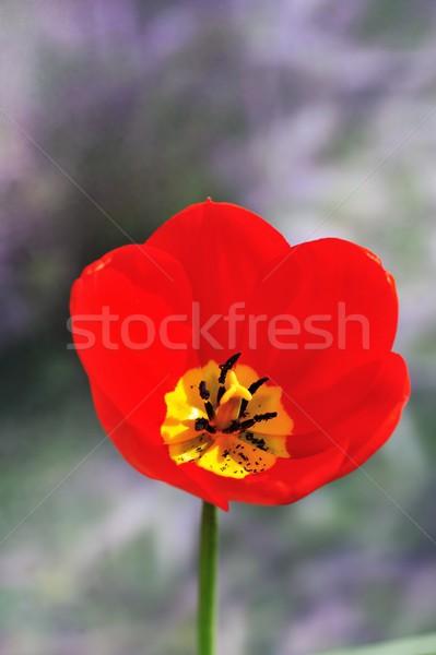 Foto stock: Tulipán · rojo · flor · sello