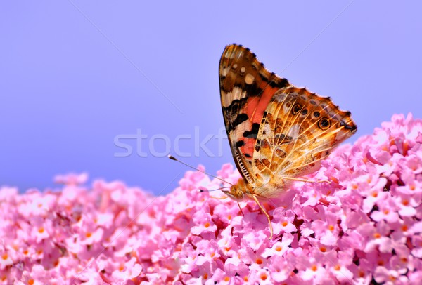 Painted Lady on Lilac flower Stock photo © mobi68