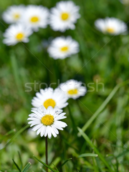 Daisy Stock photo © mobi68