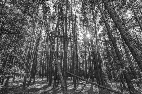 Pino forestales sol árboles negro Foto stock © mobi68