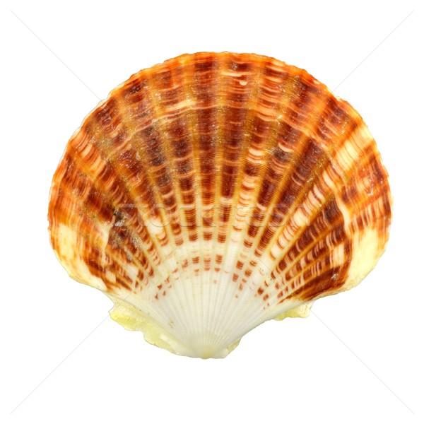 Concha mar Shell esqueleto conchas marrón Foto stock © mobi68