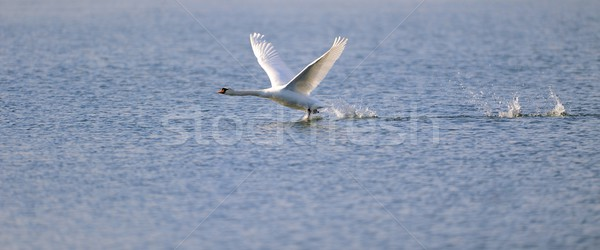Swan ready for take off Stock photo © mobi68