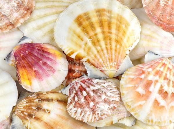 Conchas mar Shell blanco Foto stock © mobi68