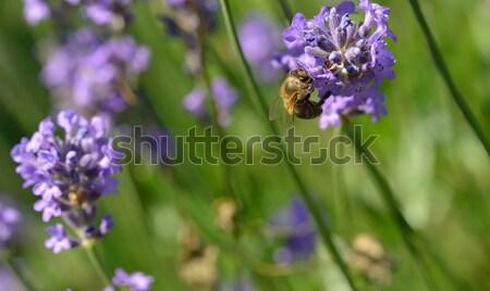 Abeja trabajo lavanda flor verano planta Foto stock © mobi68