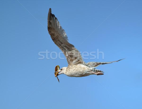 Martı yengeç gaga uçan kuş mavi Stok fotoğraf © mobi68